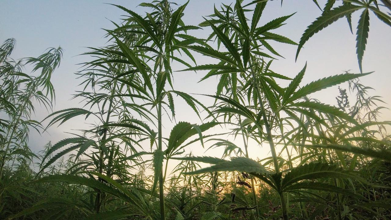 Hemp plants in field.