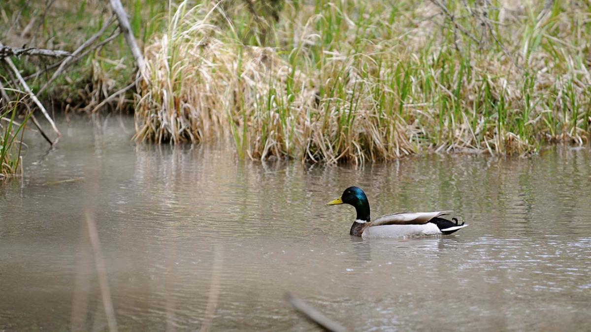 Mallard floating on pond.