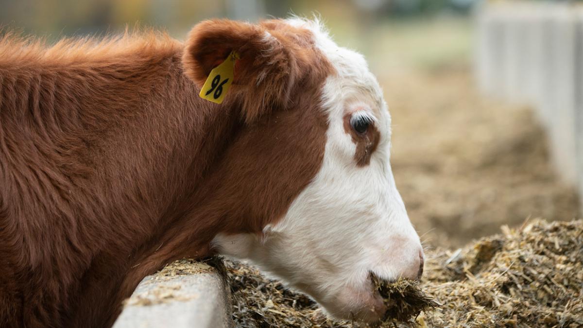 Cow feeding at trough.
