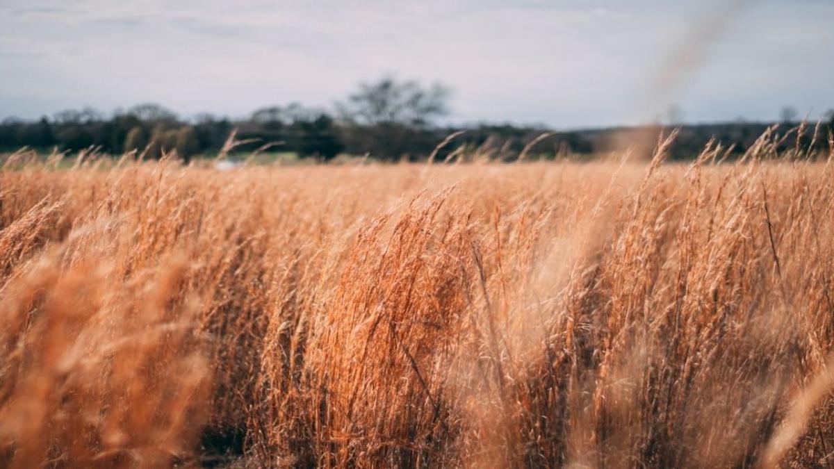 Wheat field closeup.