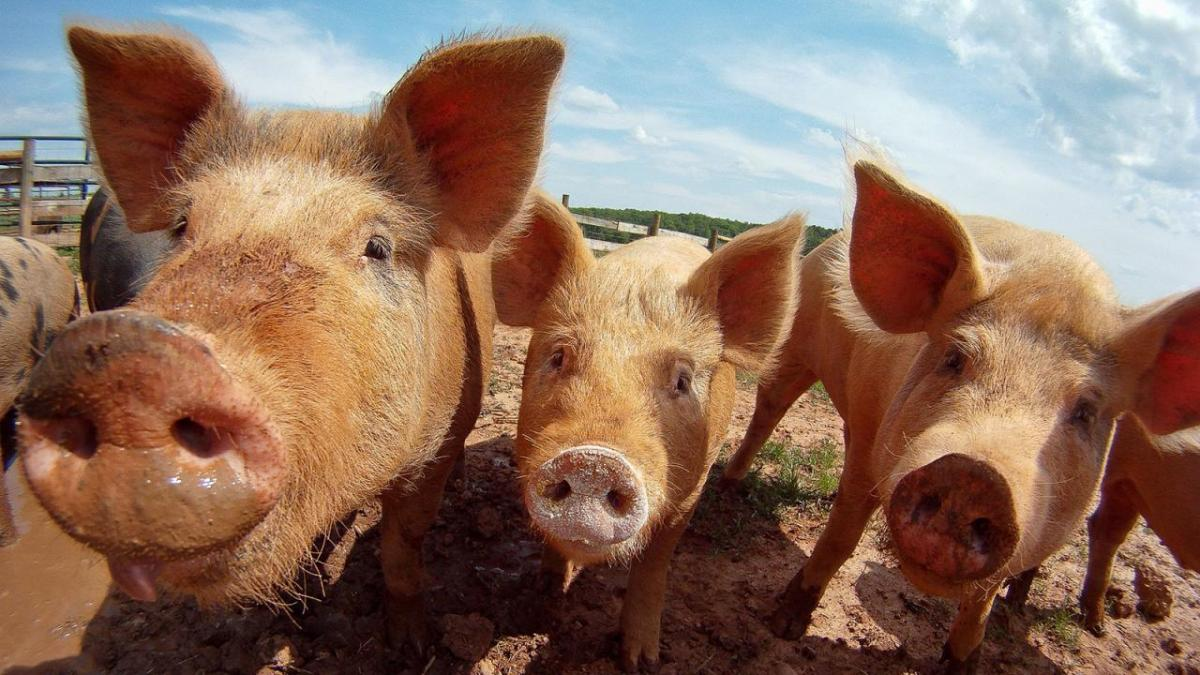 Closeup of pigs gathered together.