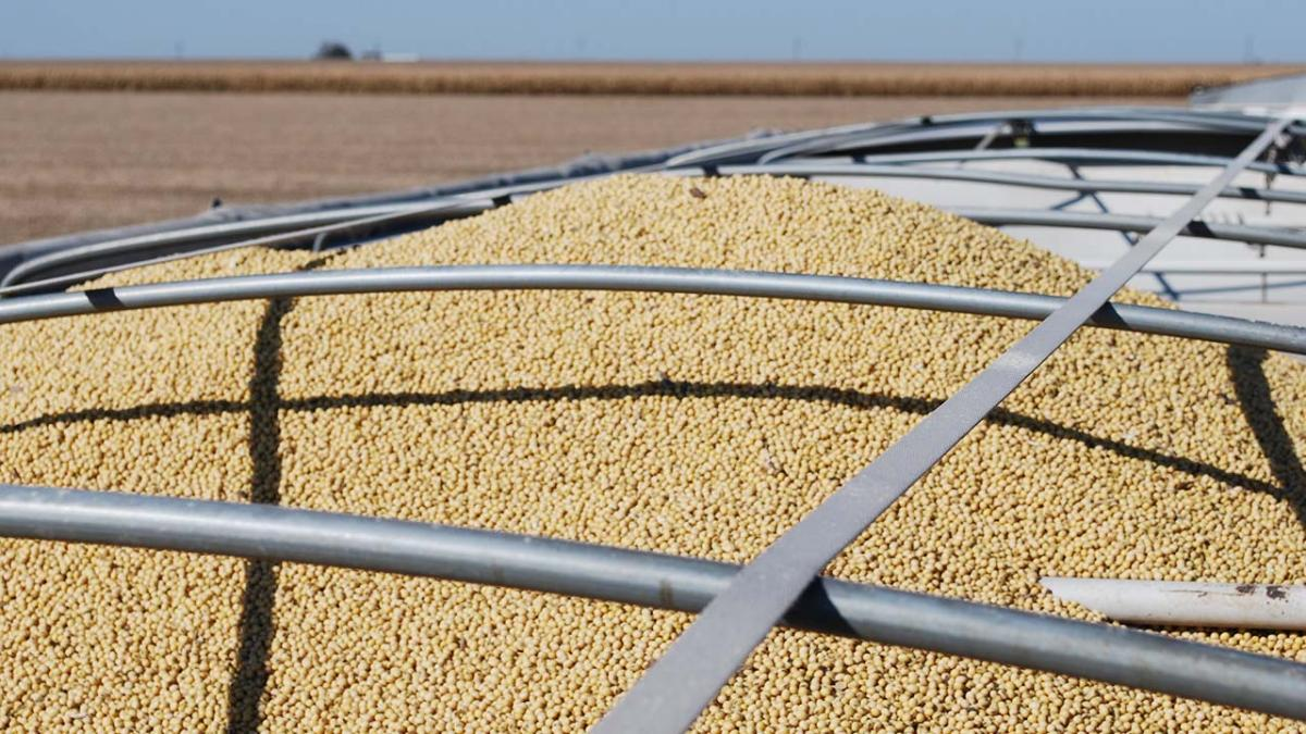 Harvested soybeans in grain truck.