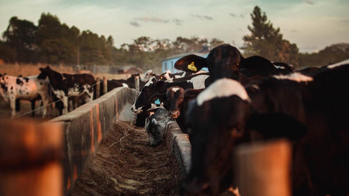 Cattle feeding at trough.