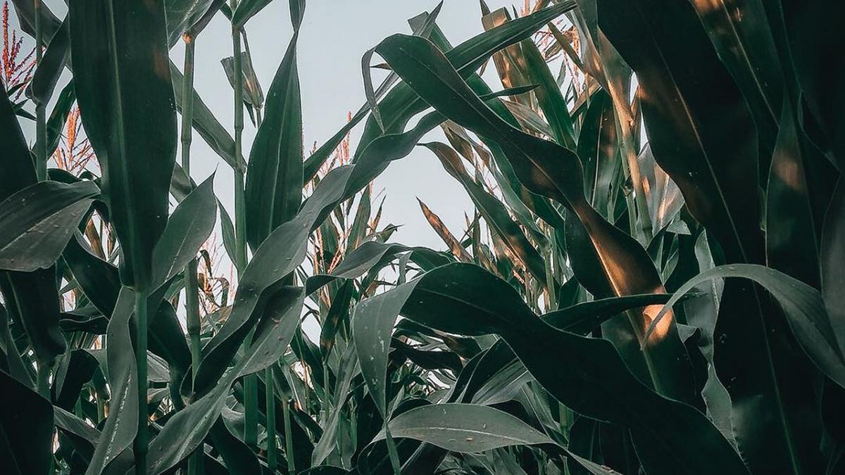 Closeup of corn ear on plant in field.