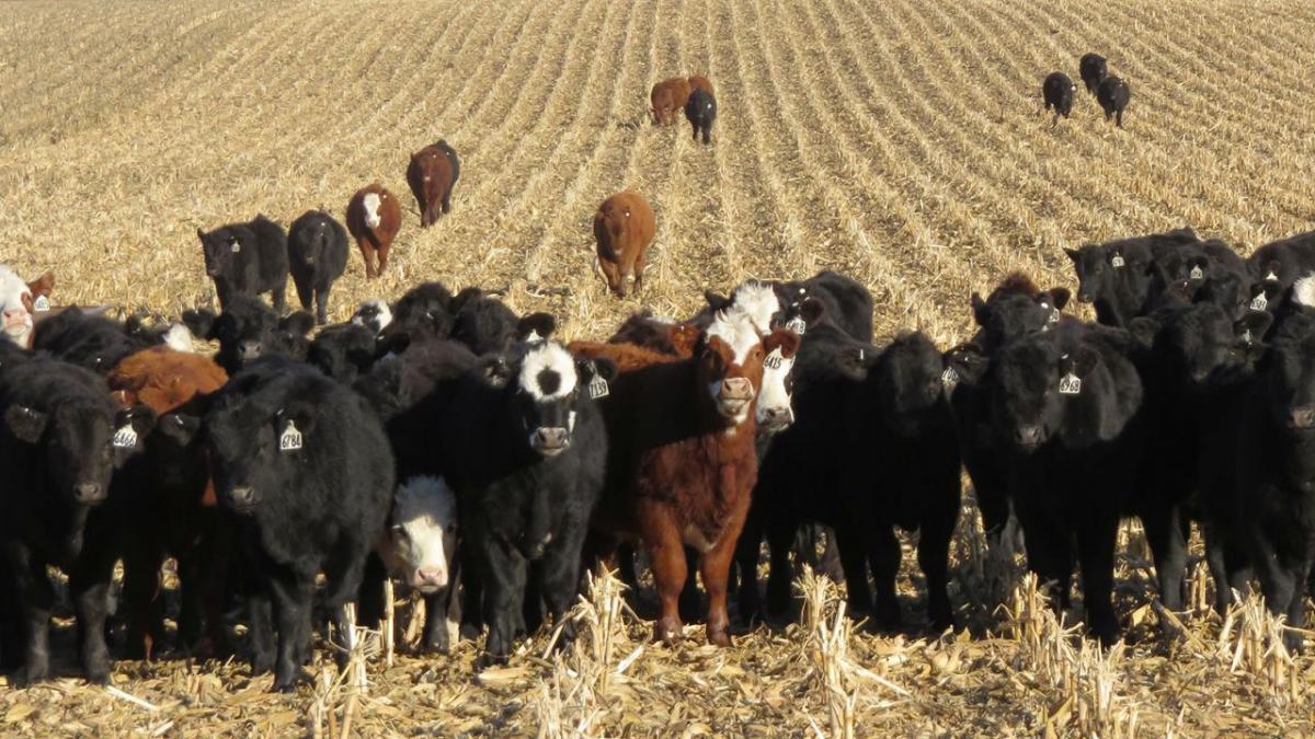 Cattle in field.