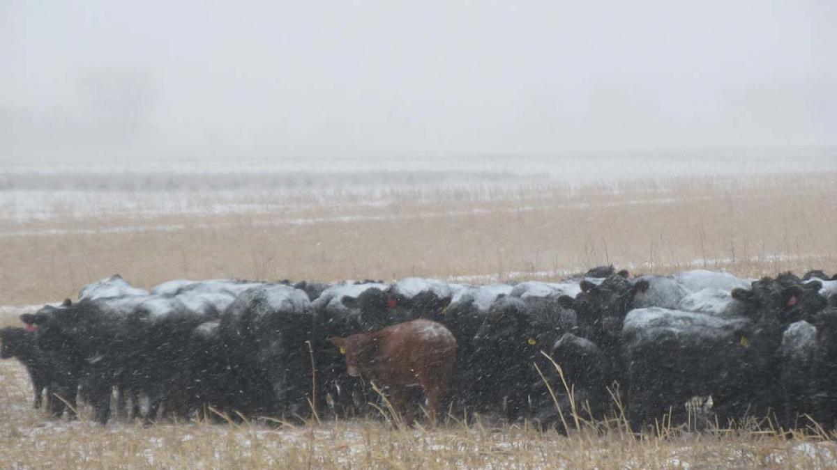 Cows grazing in snow.