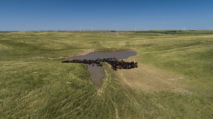 Cattle in sandhills.