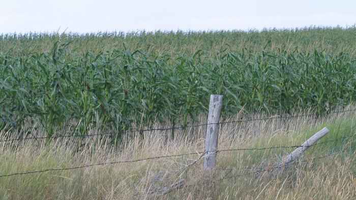 Corn standing in field behind fenceline.