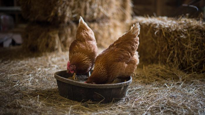 Chickens in barn.