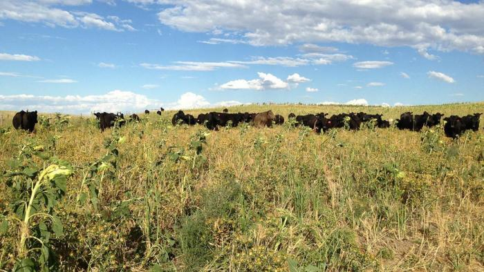 Cattle grazing on cover crops