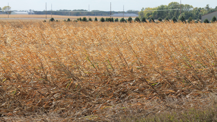 Damaged crops.