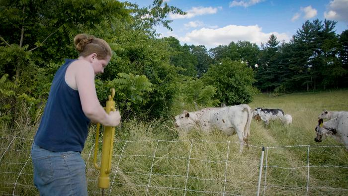 Woman driving fence post in amid cattle.