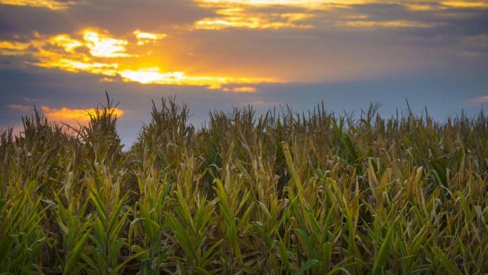 Corn filed at sunset.