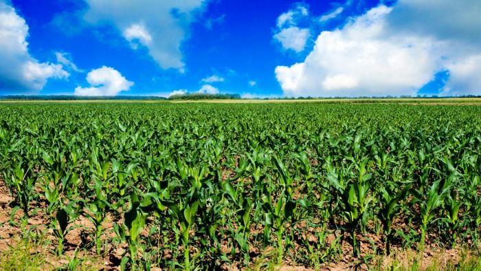 Corn field under blue sky.