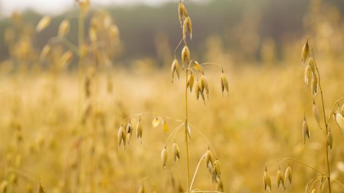 Oats in field.