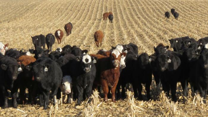 Cattle grazing on residue.